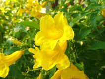 Free Cats Claw Vine Flower Royalty Free Stock Photo - 89598475