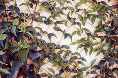 Cats Claw Vine. Cats claw growing in grid pattern on a stucco wall Stock Image