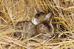 Cats cling together. With eyes closing among the straws to keep out the cold Stock Images