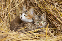 Cats cling together. Among the straws to keep out the cold Royalty Free Stock Photography