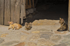 Cats on cobble Stock Photography