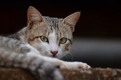 Cats. That are commonly found as a pet in India Stock Images