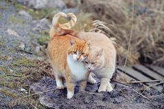 Cats couple falling in love. Two domestic cats together a very relationship outdoors.  stock photos