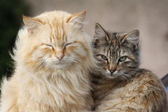 Cats. A couple of posing cats Royalty Free Stock Photos
