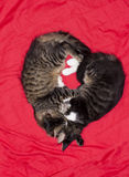Cats cute couple heart love animal. Kitty photo. Housecats friends Stock Image