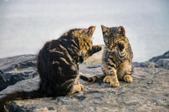Cats, cute kittens on the beach rocks. Royalty Free Stock Images
