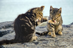 Cats, cute kittens on the beach rocks. Stock Photo