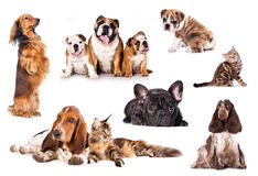 Cats and dogs. Group of cats and dogs in front of white background royalty free stock photos