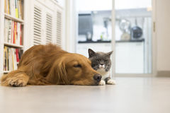 Cats and dogs. Indoor shooting cats and dogs in the family stock image