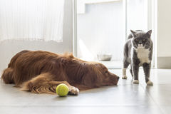 Cats and dogs. Indoor shooting golden retriever and British Shorthair stock photo