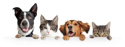 Cats and Dogs Peeking Over White Web Banner. Funny happy dogs and cats peeking over blank white web banner or social media cover with paws hanging over royalty free stock images