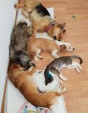 Sleeping cats and dogs on wooden floor. Cats and dogs sleeping after sedation on wooden floor inside veterinary hospital royalty free stock photography