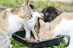 Cats eat cat food. Big cat and small kitten eating pieces of meat from the plate. We see pink tongue. Snouts large cats. Food for stock images
