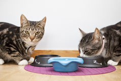 Cats eating Royalty Free Stock Images