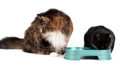 Cats eating Stock Image
