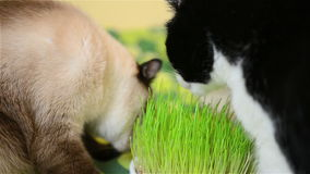 Cats eating grass stock video footage