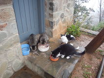 Cats eating at the wall of monastery Stock Photo