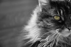 Cats eye. A photo of a cat in black and white with colour in the eye Stock Photo