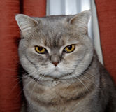 Cats Eyes. Pedigree British Blue Cream Shorthair Cat Stock Photography