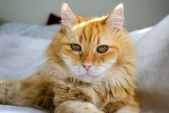 Cats eyes. Portrait ofyellow and white cat Stock Photos