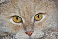 Cats eyes. Smart face of persian cat wit yellow eyes Royalty Free Stock Photography