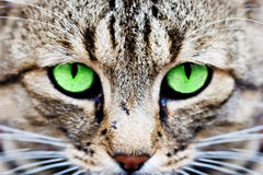 Cats eyes. Macro of a cats face with green eyes Royalty Free Stock Images