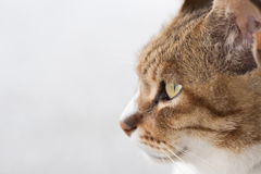 Cats eyes. Closeup portrait of cat, focus on eyes Stock Images
