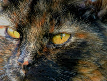 Cats Eyes Royalty Free Stock Image