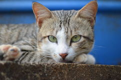 Cats Eyes. Image captured in a village where the cat is looking out for the prey Stock Images