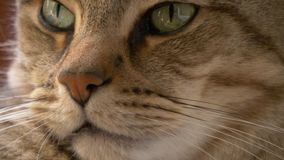 Cats eyes and nose close up portrait stock video