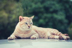 Cats eyes staring sternly. Cats eye gaze in awe on the roof Royalty Free Stock Images