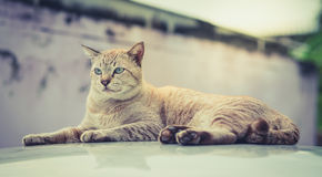 Cats eyes staring sternly. Cats eye gaze in awe on the roof Royalty Free Stock Photos