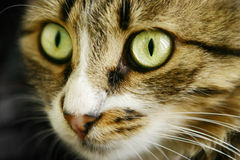 Cats face with beautiful eyes. Cats face with beautiful green eyes Royalty Free Stock Photos