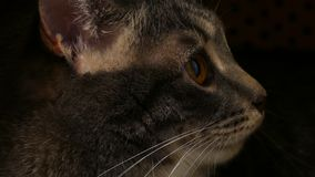 Cats face close up view stock footage