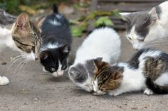 Cats family eating. Stray kittens are eating, other cats family shows curiosity stock image