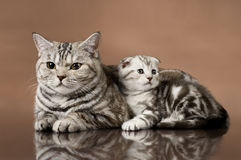 Cats. Family group of  kitten with mother, breed scottish-fold,  lie on brown  background Royalty Free Stock Photo