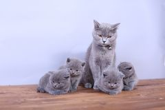 Free Cats Family On A Wooden Background Stock Photography - 102816882