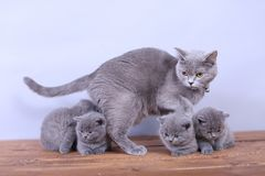 Cats family on a wooden background Royalty Free Stock Images