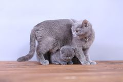 Cats family on a wooden background Royalty Free Stock Photos