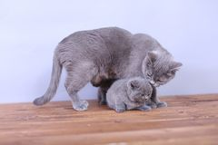 Cats family on a wooden background Royalty Free Stock Photo