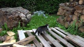 Cats in Farm Yard, Kitten Hunting Searching Food, Pussy Cat Walking in Garden stock footage