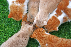 Cats feeding Royalty Free Stock Photo