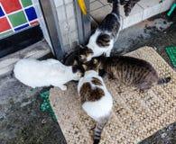 Cats feeding Royalty Free Stock Image