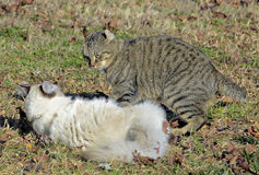 Cats Fighting royalty free stock photography