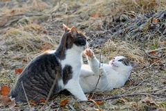 Cats fighting outdoors Stock Photography