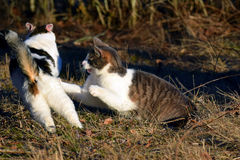 Cats fighting outdoors Stock Photos