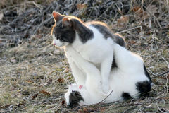 Cats fighting outdoors Stock Images
