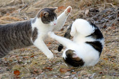 Cats fighting outdoors. Two domestic cats fighting outdoors Stock Images