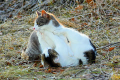 Cats fighting outdoors Royalty Free Stock Photo
