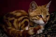 Cats are friendly and clean animals for people. Cats are clean animals living in homes royalty free stock image